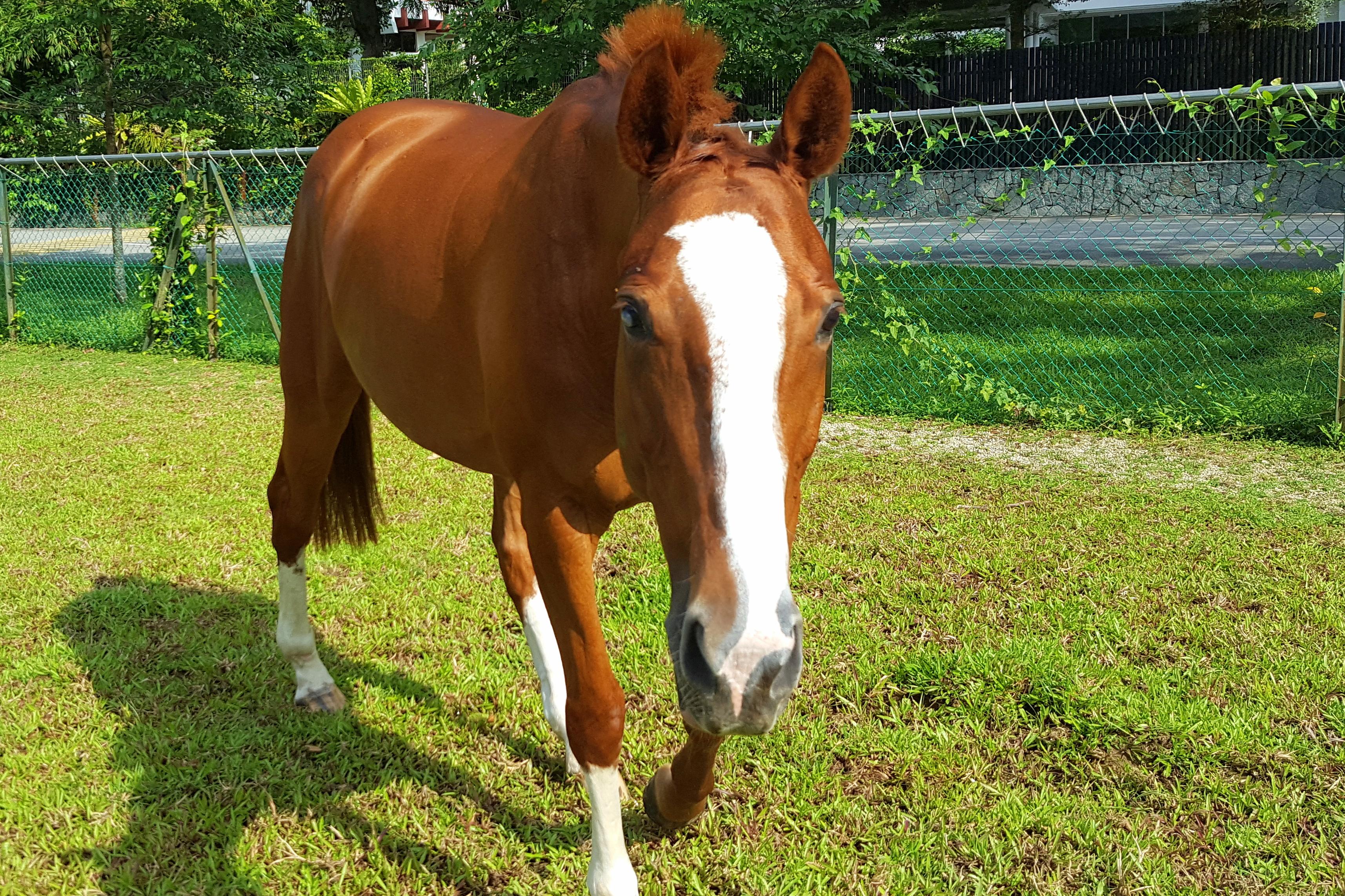 Culcuta, RDA Therapy Horse
